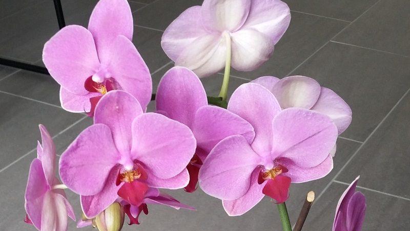 Tous nos conseils pour bien entretenir une orchidée