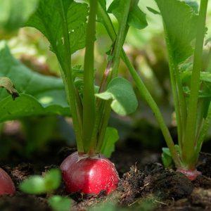 Comment bien planter des radis ?