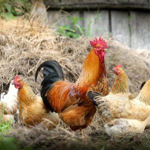 Les contraintes d'avoir des poules